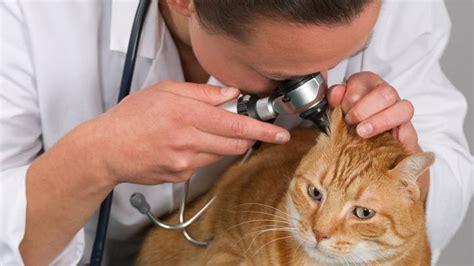 Obat Hewan Earticz Tetes Anti Tungau Telinga penyakit kucing otitis infeksi telinga kucinggaul