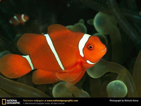 a among fishes the of gyotaku books clownfish picture clownfish desktop wallpaper free
