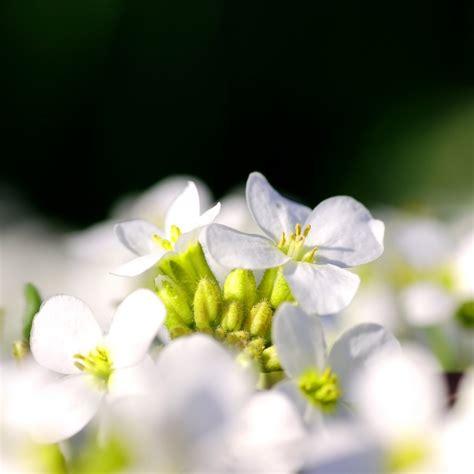 foto di fiori da scaricare gratis fiori bianchi in fiore scaricare foto gratis