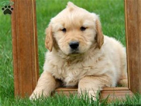 golden retriever breeder md golden retriever puppies up for adoption assistedlivingcares