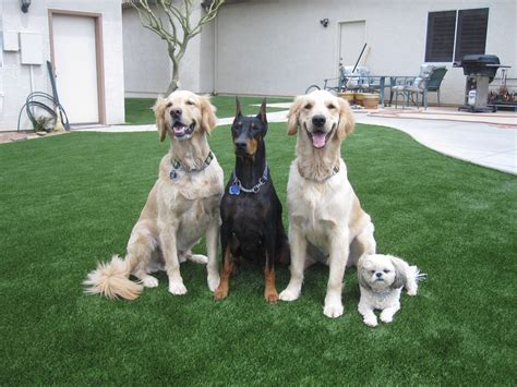 four dogs arizona synthetic turf southwest greens of the valley