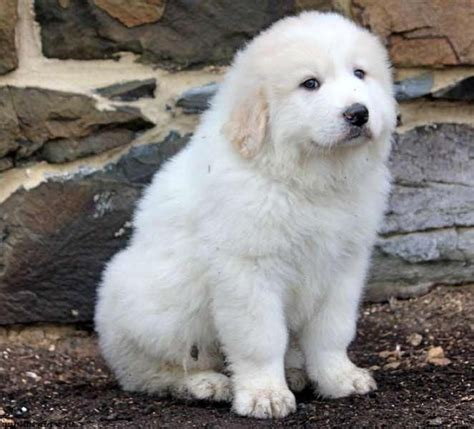 great pyrenees puppy great pyrenees puppies images