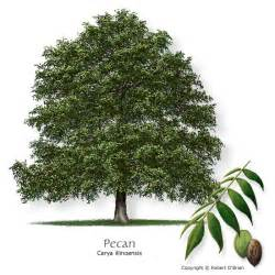 Tree Tx The Pecan Tree Is The State Tree Of