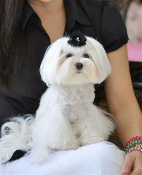 How To Detox Melts In A Puppy by 17 Best Ideas About Maltese Haircut On Maltese
