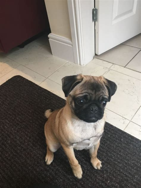 apricot pug for sale beautiful apricot pug for sale pontefract west pets4homes
