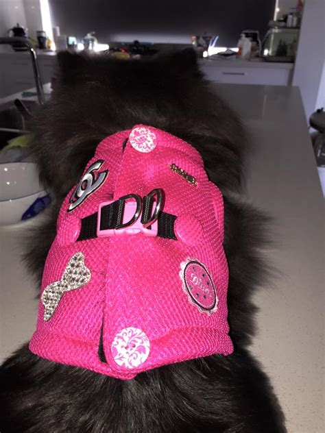pomeranian harness tips on selecting the collar harness for your pom pomeranian