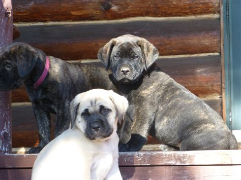 bullmastiff puppies michigan american mastiff breeders michigan dogs in our photo