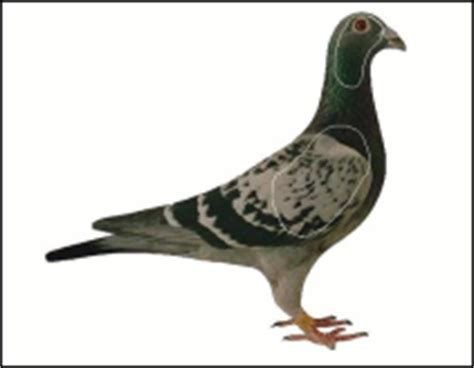 printable pigeon targets hsc computer printable targets