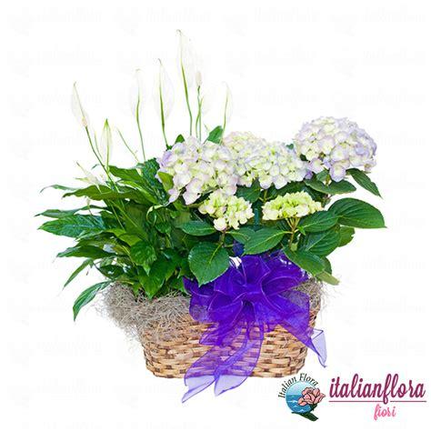 e fiori vendita cestino di piante fiorite bianche consegna a