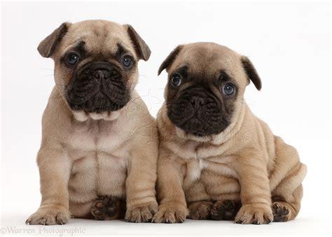 5 week puppies bulldog puppies 5 weeks photo wp43362