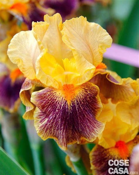 fior di giaggiolo iris barbata delirium giaggiolo cose di casa