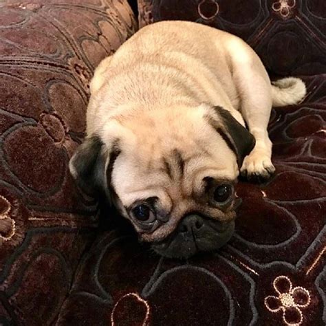 valentino pugs valentino pets pet worth