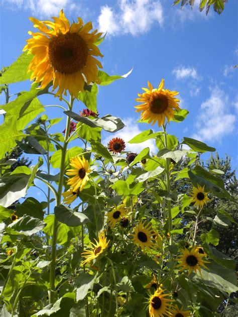 Sunflower Garden Ideas Sunflower Garden In Your Back Yard Backyard Dreams Gardens Seasons And Cas