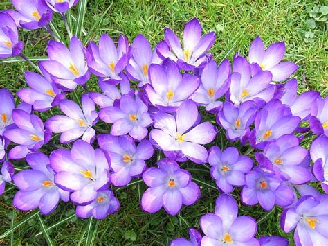 fiori di croco fiore di croco viola scaricare foto gratis