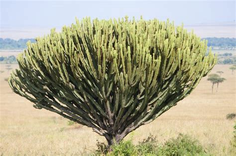plants in tropical savanna types of trees grass shrubs in the savanna hunker