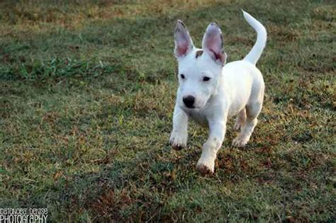 chipit puppies chipit information and pictures chihuahua american pit bull terrier breeds picture