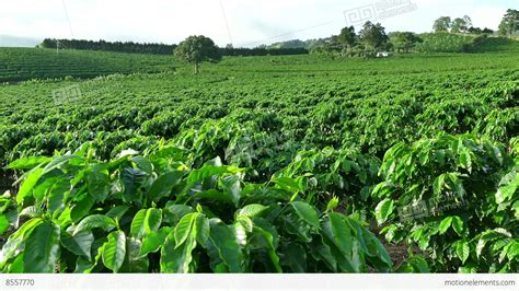 coffee plantation wallpaper plantation cultivation agriculture farming coffee plants