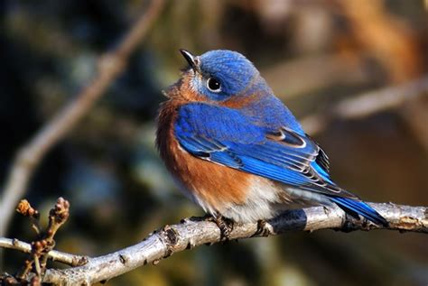 40 beautiful pictures of blue birds tail and fur