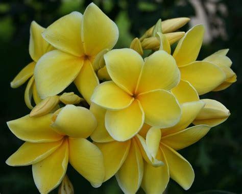 fiore plumeria frangipane plumeria rubra plumeria rubra piante da