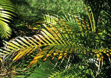 potassium deficiency  areca palm dypsis lutescens