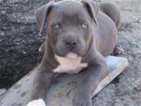 pitbull puppies for sale in miami dogs miami fl free classified ads