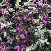 Benih Stock Starlight Scentsation 1 matthiola longipetala subsp bicornis starlight scentsation scented stock evening stock