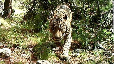 jaguars usa jaguar in u s there s of one in arizona cnn