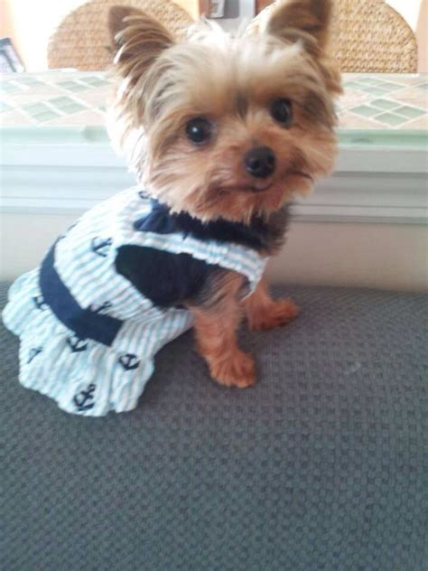 why do yorkies bark so much 17 best images about yorkies on terrier costumes and yorkie