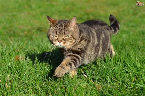 tabby cat colors tabby cat colour and pattern genetics pets4homes