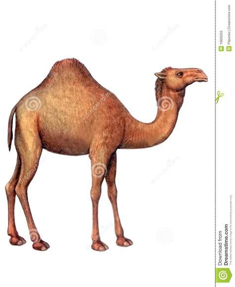 animal camel royalty free stock photo image 10800255