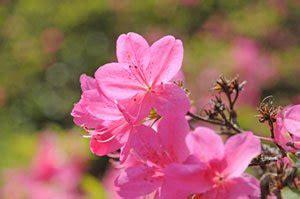 Rhododendron Vermehren by Azaleen Vermehren So Einfach Ist Es