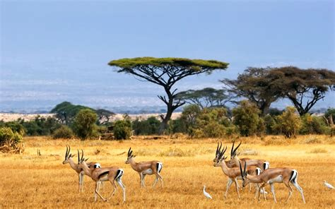 african safari african landscape antelopes safari africa hd desktop