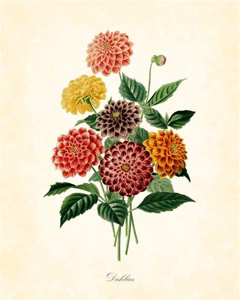 antique dahlias botanical art print french 1849 8 x 10 art