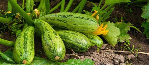 garten ratgeber zucchini pflanzen gt garten ratgeber