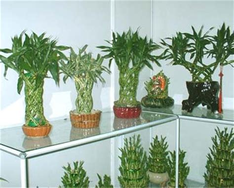 plants at home nurserylive 5 best good luck plants for your home