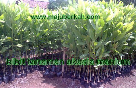 Bibit Acacia Mangium bibit akasia bibit tanaman akasia jual bibit akasia bibit