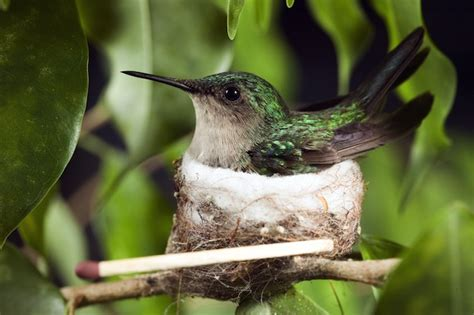 hummingbird reproduction hummingbird facts and information