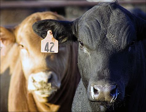 tattoo animal identification oklahoma farm report one of the big five beef stories of