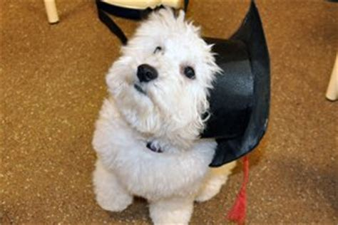 brister family terriers scottish terrier bichon frise for sale in texas