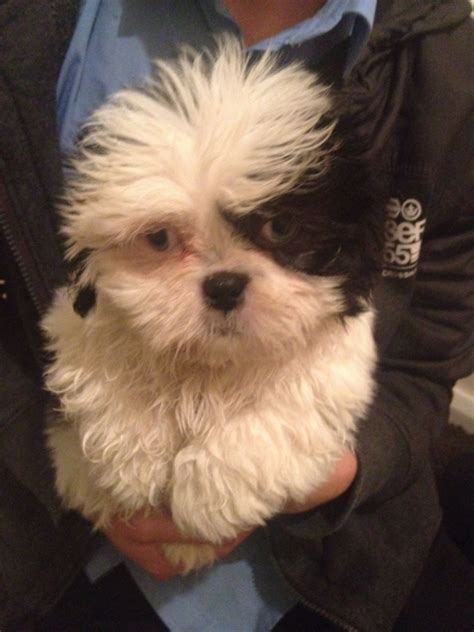 blue shih tzu for sale shih tzus for sale in nebraska shih tzu puppies dogs for sale rachael edwards