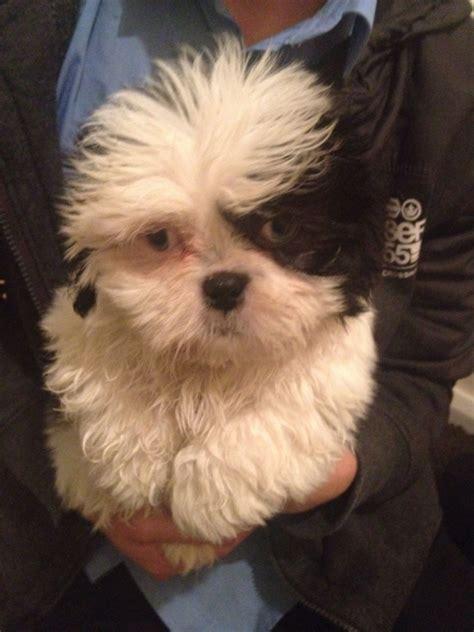 blue eyed shih tzu puppies blue eyed shih tzu puppies shih tzus for sale