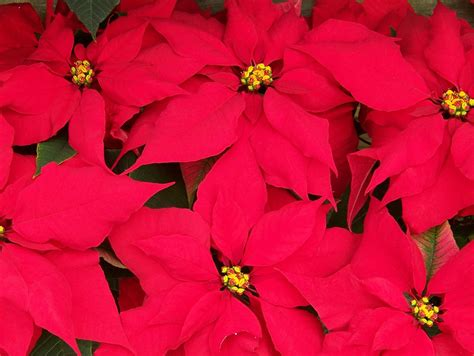 poinsettia dogs are poinsettias poisonous to dogs and other plants