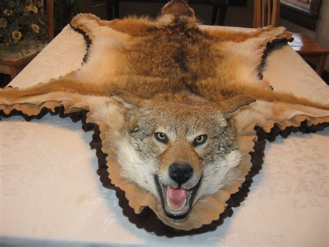 coyote rug mount showpiece taxidermy coyote rug mounts