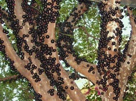 jabuticaba fruit tree jabuticaba the tree that fruits on its trunk weezbo