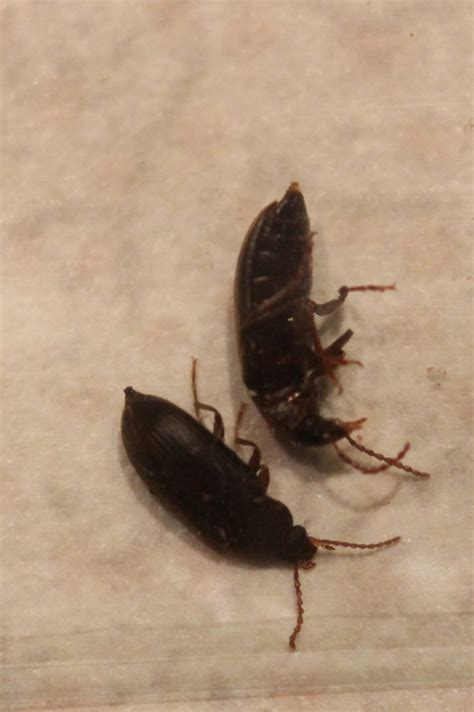 bathroom beetles small black bugs in bathroom delonho com