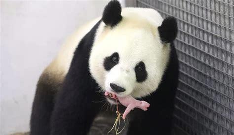 libro oso panda oso panda cr 243 nica salvaje nace un oso panda gigante quot un verdadero milagro quot en un zoo belga el imparcial