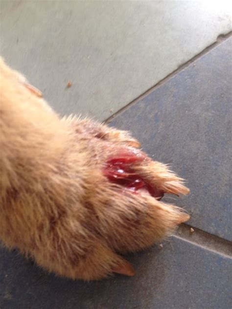 sore paw sores on dogs paws images