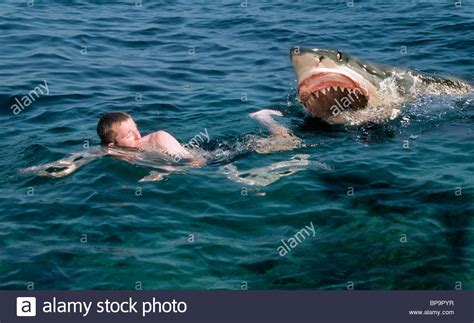 how to your to be an attack shark attack swimmer great white shark stock photo royalty free image 30948395 alamy