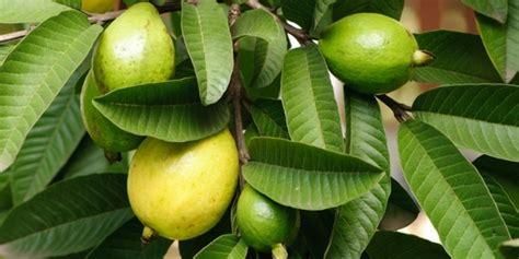 Daun Jambu Biji Klutuk manfaat daun jambu biji untuk kesehatan tubuh
