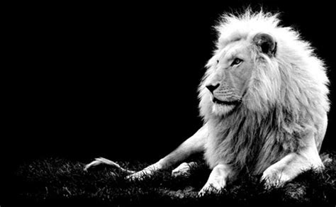 imagenes de leones blanco y negro foto le 243 n en blanco y negro muchas fotos